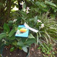 サイパン・レモンの鉢植え