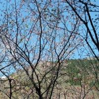 カタクリ咲く寂地山