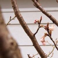 やっと、裏庭のサクランボが、咲きそうになってきましたよ