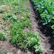 「ジャガイモ」の挿し木栽培による収穫結果 !