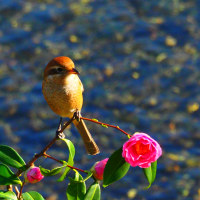 『今日の誕生花』 山茶花