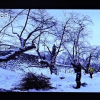 2/22 森田さんの 青森 リンゴの選定は雪の中で