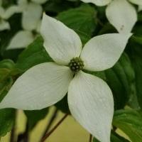 やまぼうし、がくが白く開いて花のように