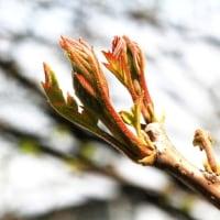 樹木ウォッチング冬から夏へ206ヌルデ1