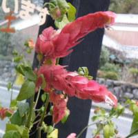 冬のベロぺロネと黄水仙