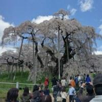 滝桜でがんす