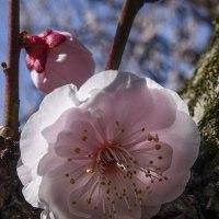 長居公園の梅と桜