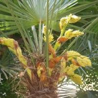 「おはようの花」 シュロ(棕櫚) 5月