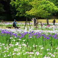 2017 佐倉城址公園の花菖蒲(6月9日)