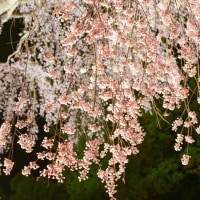 水戸野の枝垂れ桜ライトアップ3