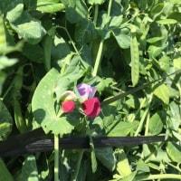 豆の季節がやってきた