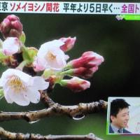 東京都心で桜(ソメイヨシノ)が開花(気象庁発表)