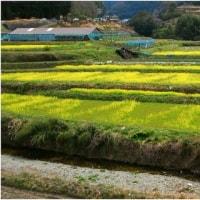 飛鳥 いにしえの早春ぶらり散歩・奈良県。  17・3月25日