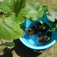 5月の菜園 ②