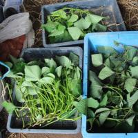 サツマイモの苗採り開始