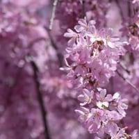 徳山のしだれ桜