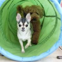 明日はチャリティーイベント【Dogscan体験会】 犬の幼稚園&躾教室@アロハドギー