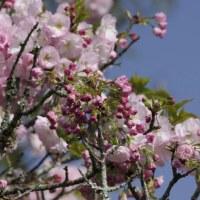 八重桜も咲き始めて