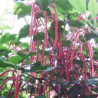 ベニヒモノキ(紅紐の木)