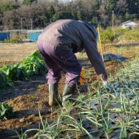 ニンニクの除草と化成追肥(2回目)