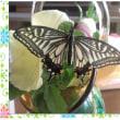 待ちに待ったアゲハチョウ羽化