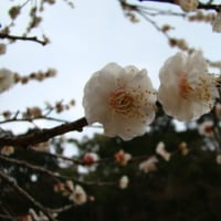 太宰府天満宮 梅の花