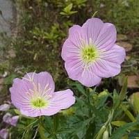 季節の花「昼咲月見草(ひるざきつきみそう)」