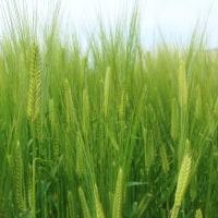 麦畑が綺麗です