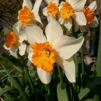 水仙が自由気ままに春の庭