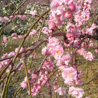 満開近い桜の中のゴルフ小犬会