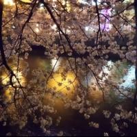 今年の桜もそろそろ終わりっす。最終回