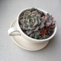 コーヒーカップの多肉ちゃん