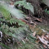 ウスアカヤマドリのペア