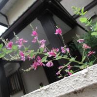 アオスジアゲハ蝶・モンシロチョウ・モンキチョウ