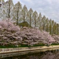 大阪城の桜探訪p1(D810、18-35mm)