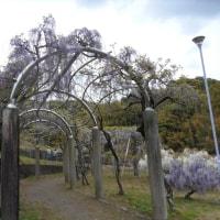 藤枝蓮華寺池公園の藤の花今が見頃ですよ!