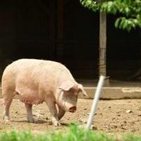 豚のいる風景