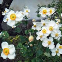 好古園の秋 秋明菊