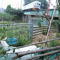 昨日は陶芸窯の焼成。大川のヤギ達。給食費が滞納・弁護士が回収。町議会ギリギリ選挙戦。