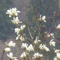 コブシの花も咲き出した