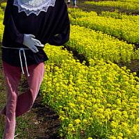菜の花畑の案山子