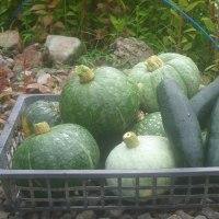 農園では南瓜、ズッキーニ大収穫!