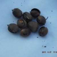 スティックセニョール定植  トウモロコシ定植準備