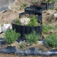 かすみ草を移植。