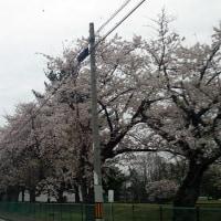 桜と言えば...