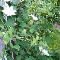 庭の白花 次々と♪