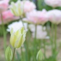 亜麻  フラックスという可憐な花