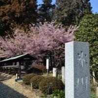 まだまだ見ごろ河津桜