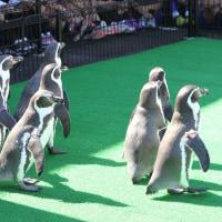 ペンギン散歩今昔・越前松島フンボルト6
