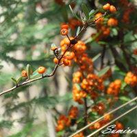 木の実とジョウビタキ